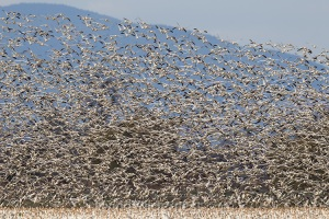 Large Snow Geese Flock, Skagit Valley, Washington